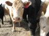 Alberta Cattle Ranching and Beef Marketing